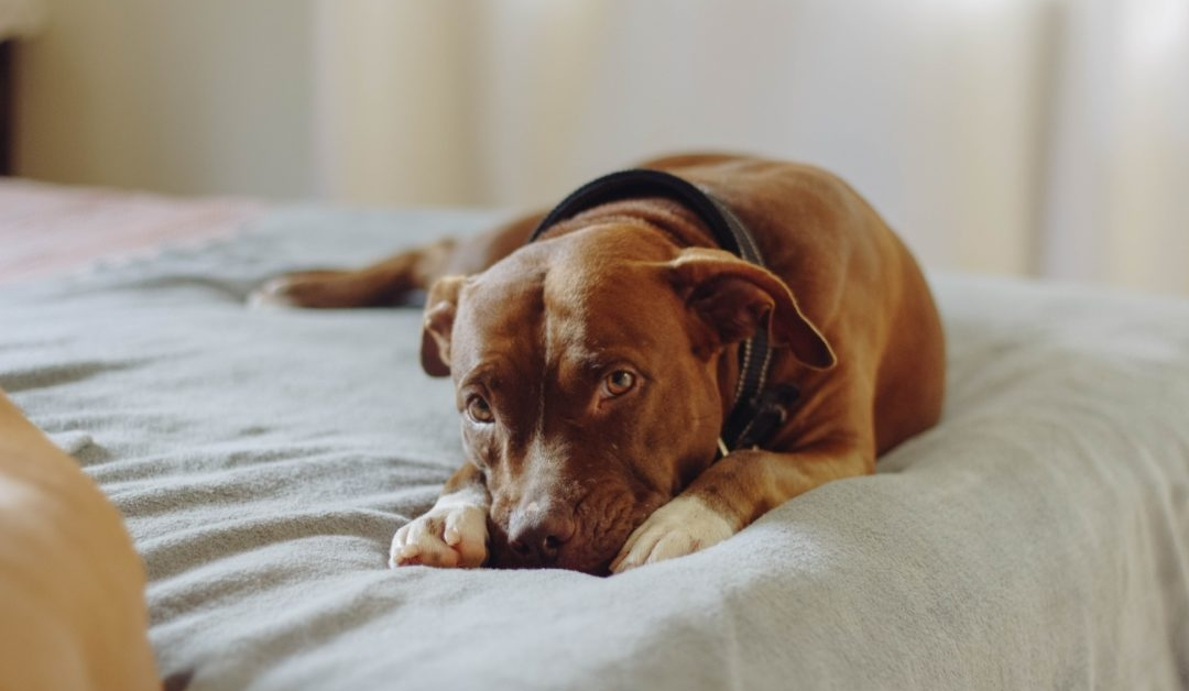 Large brown mixed breed dog with separation anxiety laying on a bed with its face between its front paws.