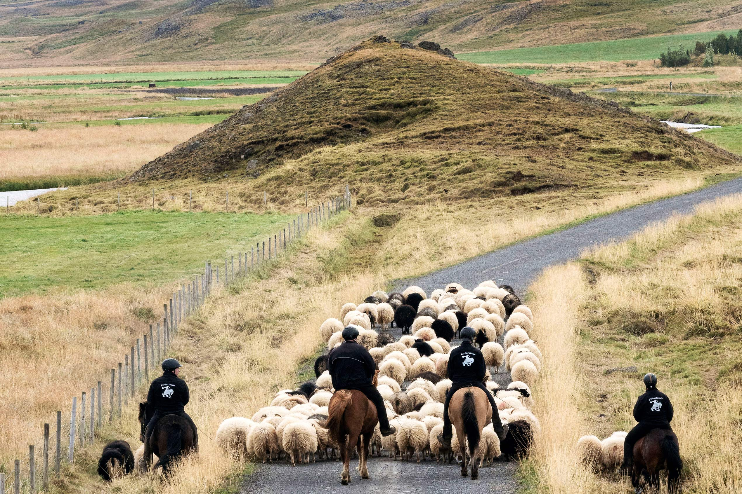 Four horses with horsemen guide a group of sheep at rettir in Iceland