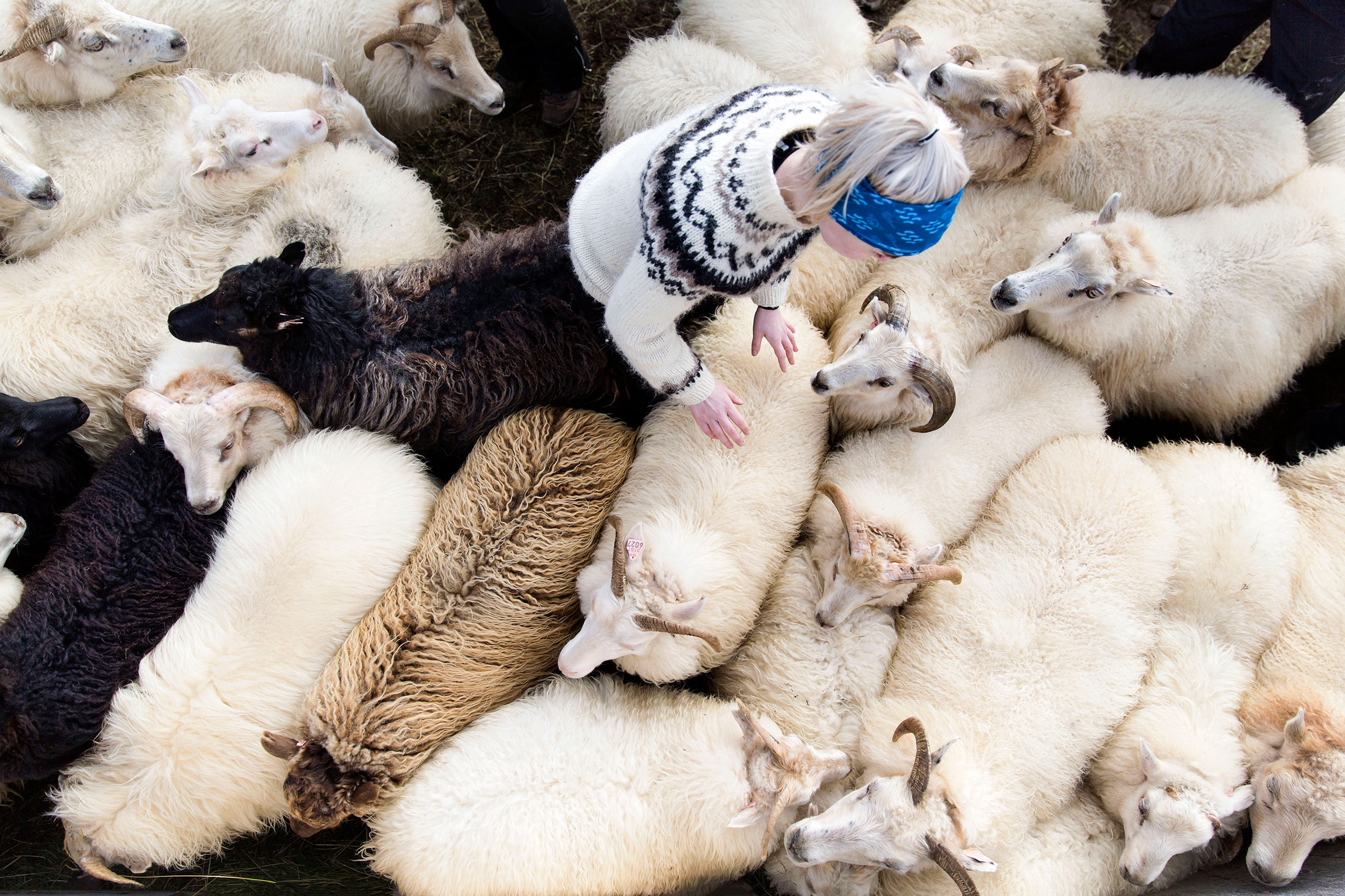 an aerial shot of a woman in a lopapeysa surrounded by sheep of all colours at rettir in Iceland