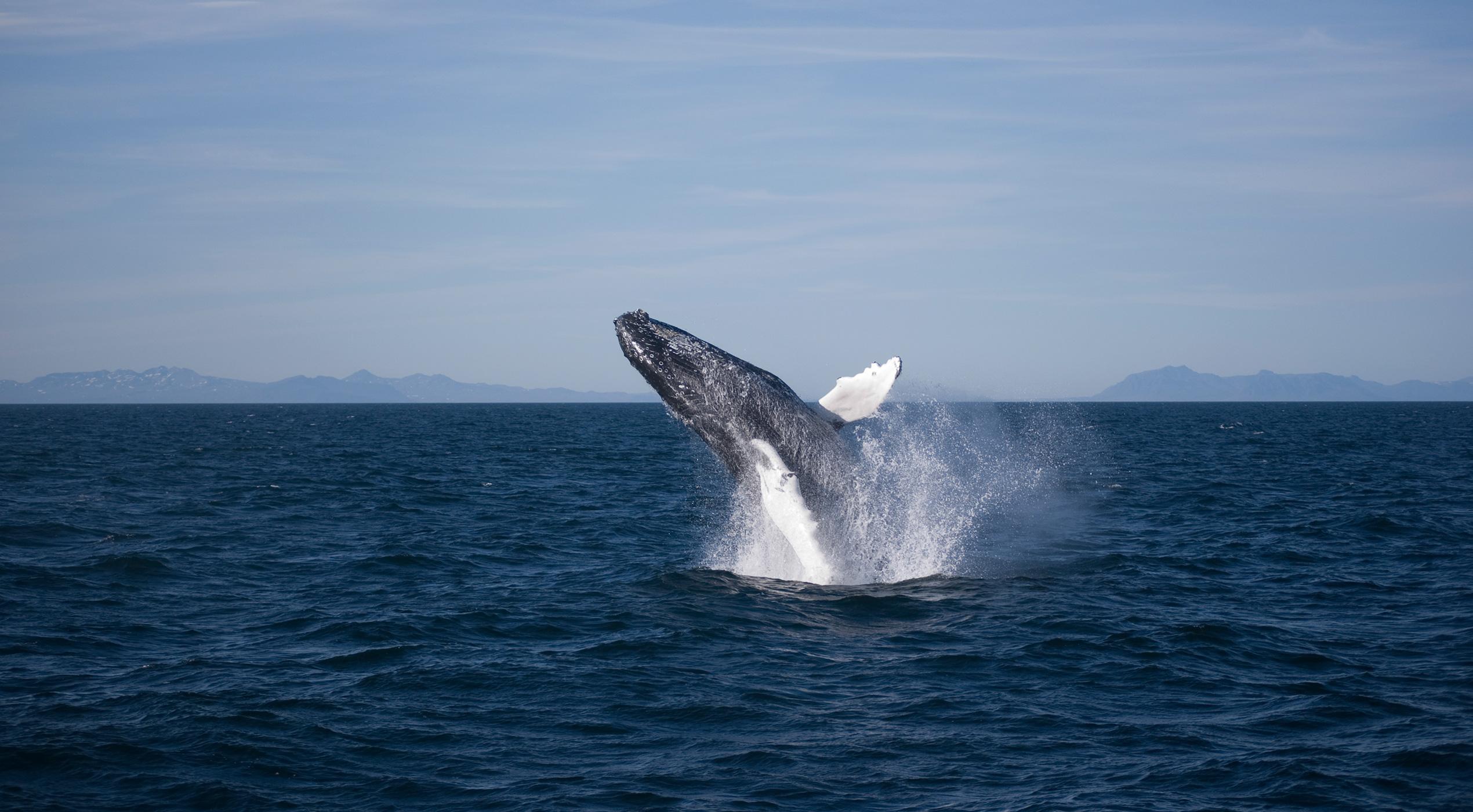 Whalewatching-umping-Humpback_Megan-.jpg