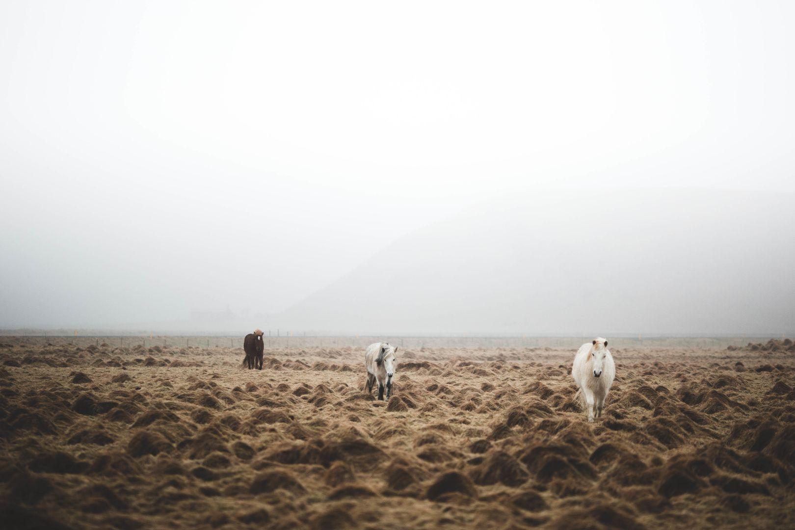 three horses walking across a foggy field towards the camera