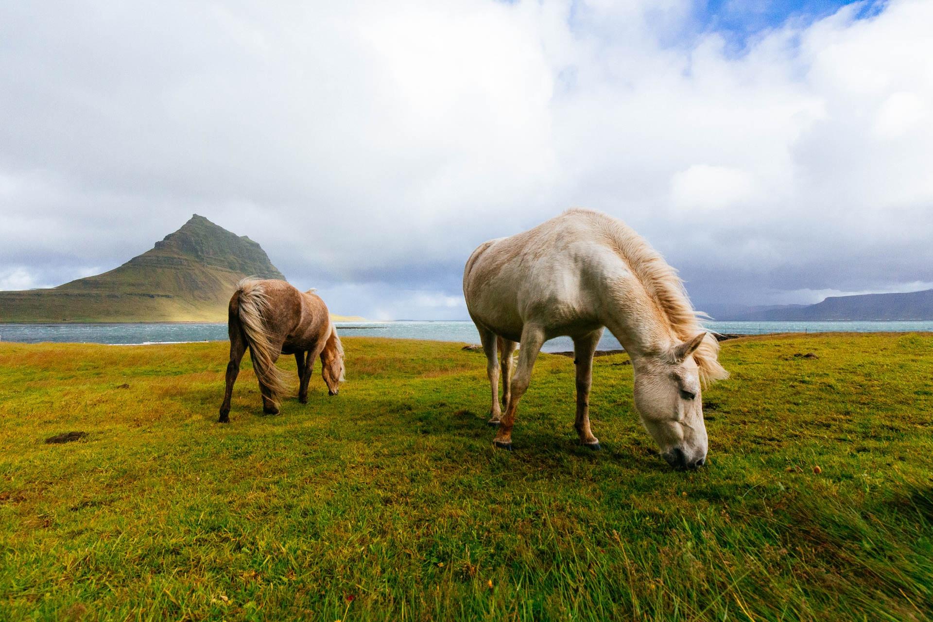 two horses grazing at kirkjufell