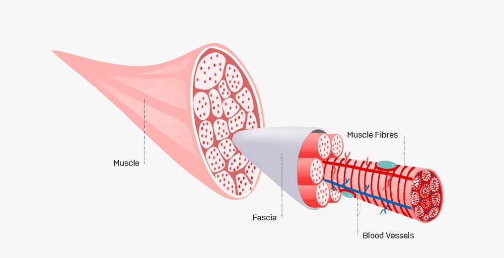 [Illustration showing fascia]