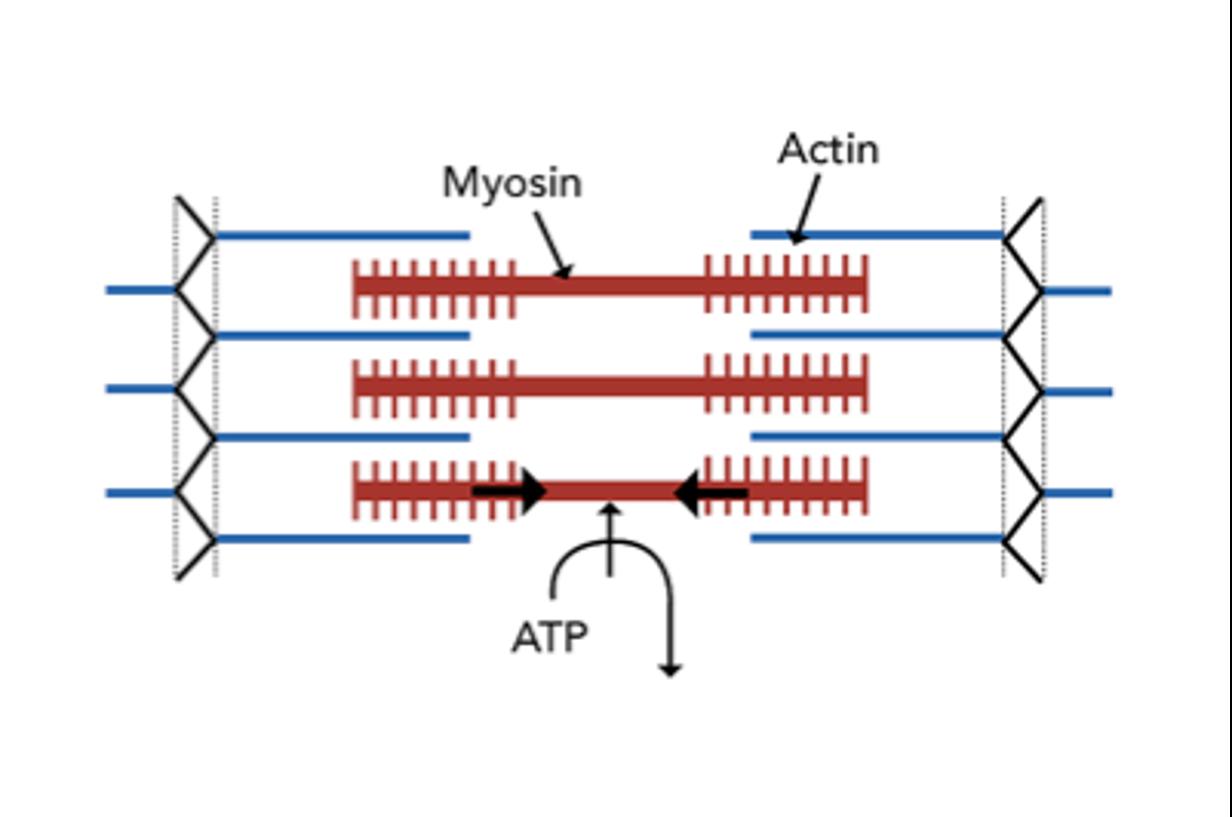 estructura muscular