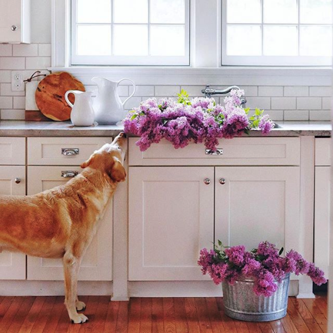 the yellow note beautiful white kitchen wood floors with golden retriever smelling purple flowers in the sink