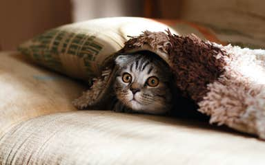 Cats point the way to potential COVID-19 remedies