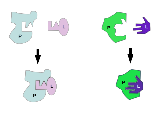 """Models of protein-ligand interaction, lock-and-key interaction and induced fit, or """"glove"""" binding"""