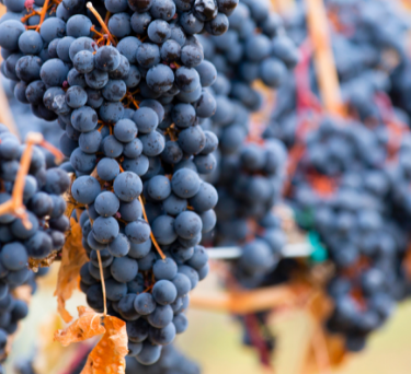 Australian Wine Guide