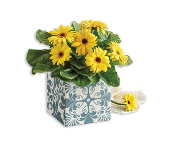 m_191101-Get-Well-Gerbera-Daisy-Plant-Gift-Siloed-_m.jpg