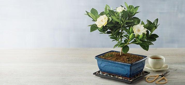 b-190730-Floral-Gardenia-Bonsai-Tree-Gift.jpg