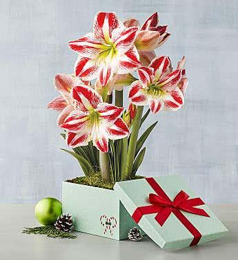 210920-HolidayGiftGuide-GiftsForHer-Amaryllis-updated.jpg