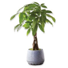 31286-MoneyTree_PlantsTrees.jpg