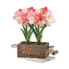 MothersDayFlowersPlants-AmaryllisGift-Silo.jpg
