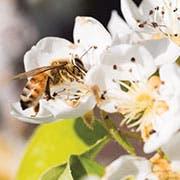 210405-PearLander_Bees.jpg