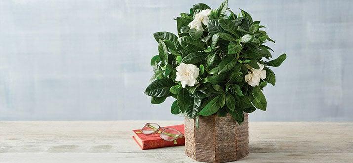 a-200508-4-Gardenia.jpg