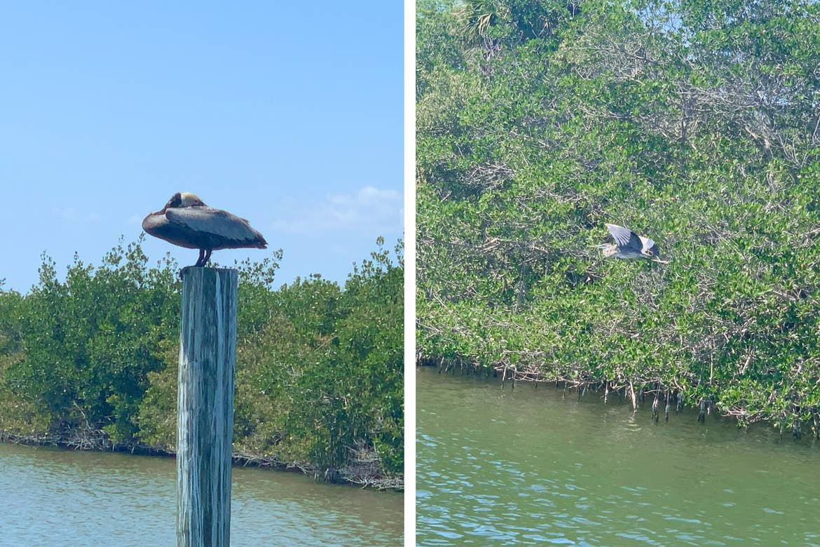 Left: A Cormorant sleeps on a post standing in the water. Right: A Blue Heron takes flight.