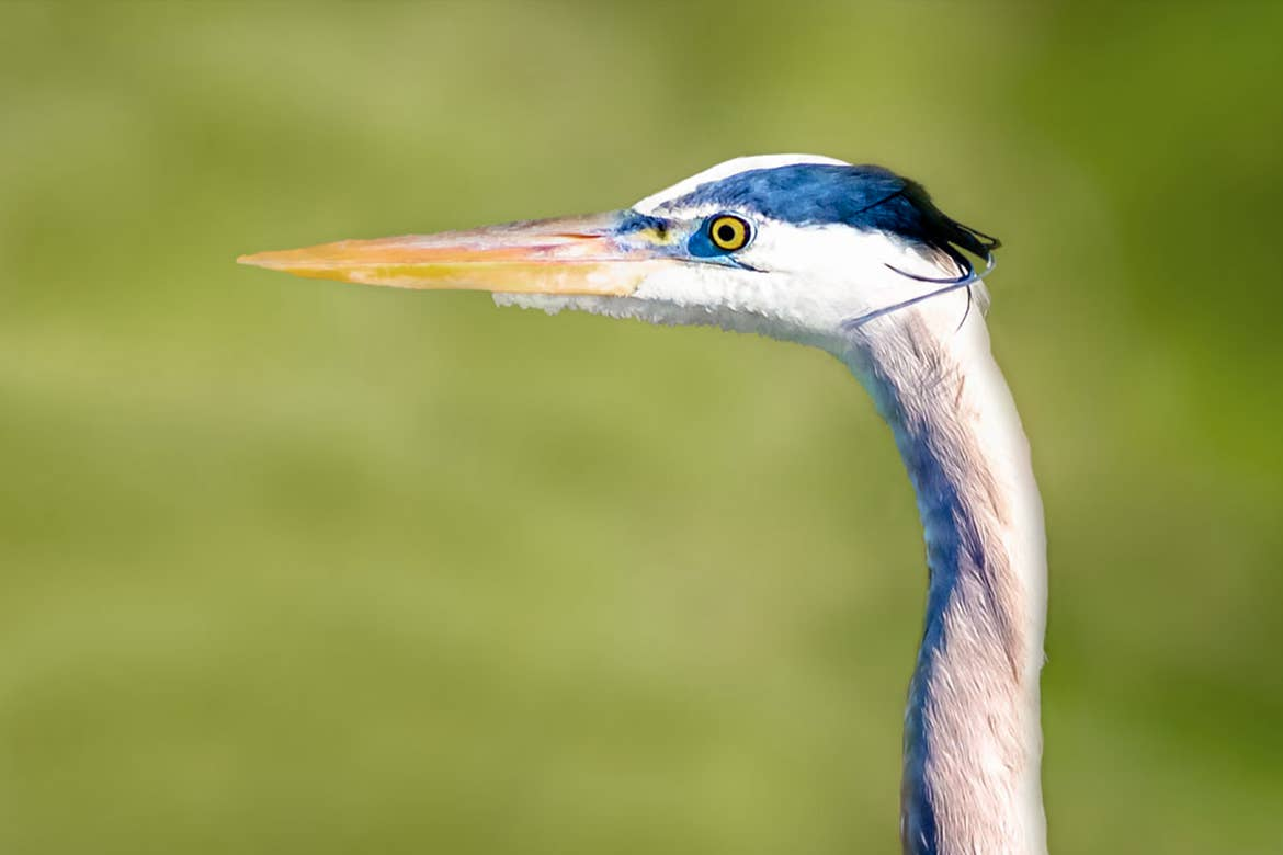 A Great Blue Heron peers from its habitat at the Lake Apopka Wildlife Drive. Photo courtesy of Michael Feldman