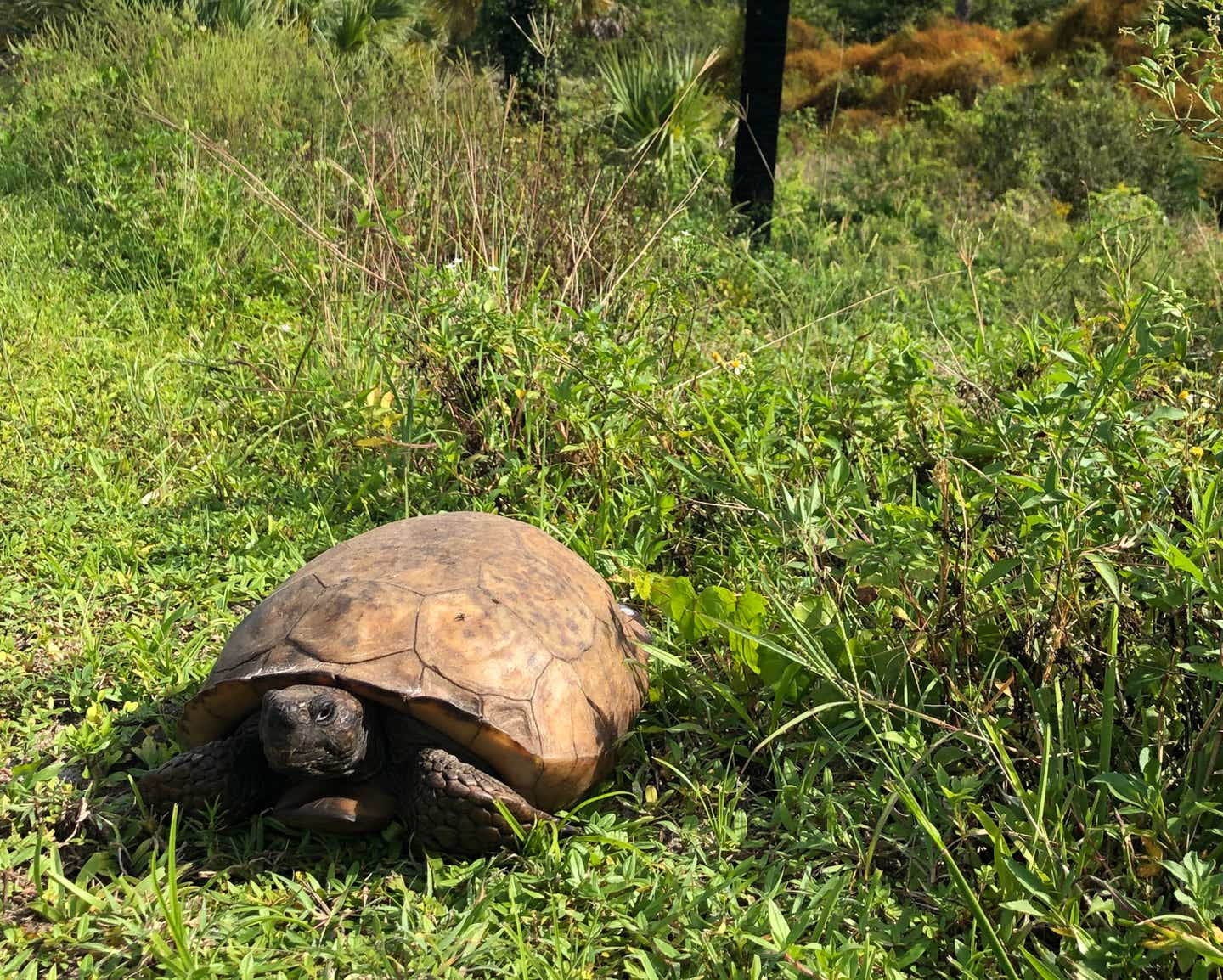 Tortoise laying in the sun at Jonathan Dickinson State Park in Hobe Sound, Florida.