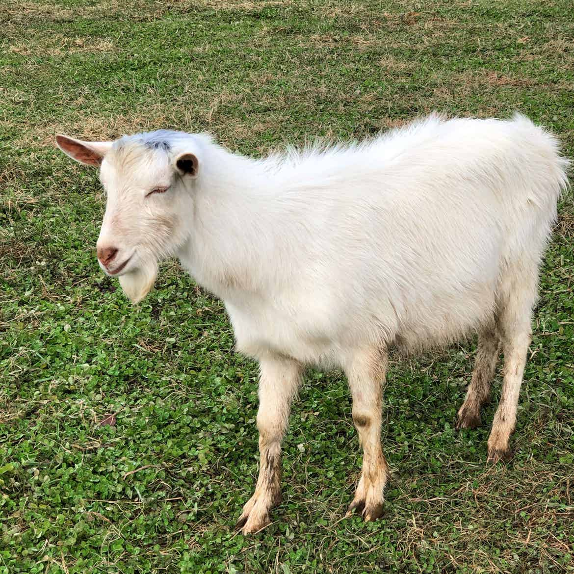 A little white goat strolls the greens at the farmyard located at Biltmore Estates Village.