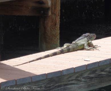 Lizard sunbathing on a dock.