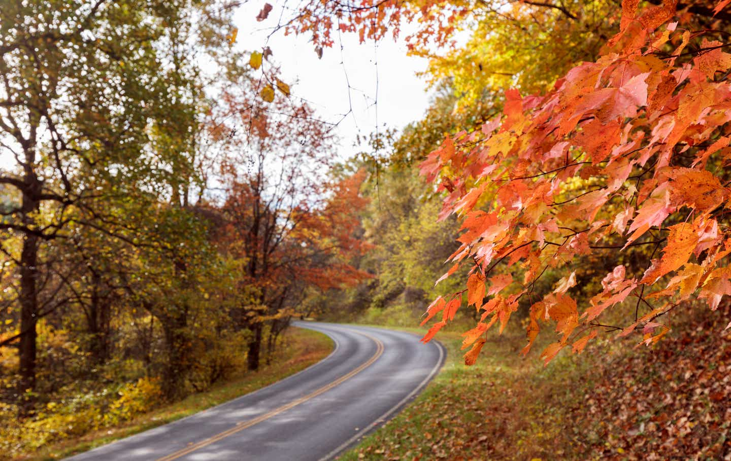 Orange and yellow fall leaves surrounding the roadway at Shenandoah National Park