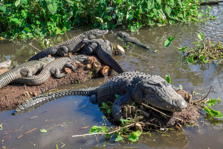 Several gators sit on mud hills near a swampy marsh at Gatorland.