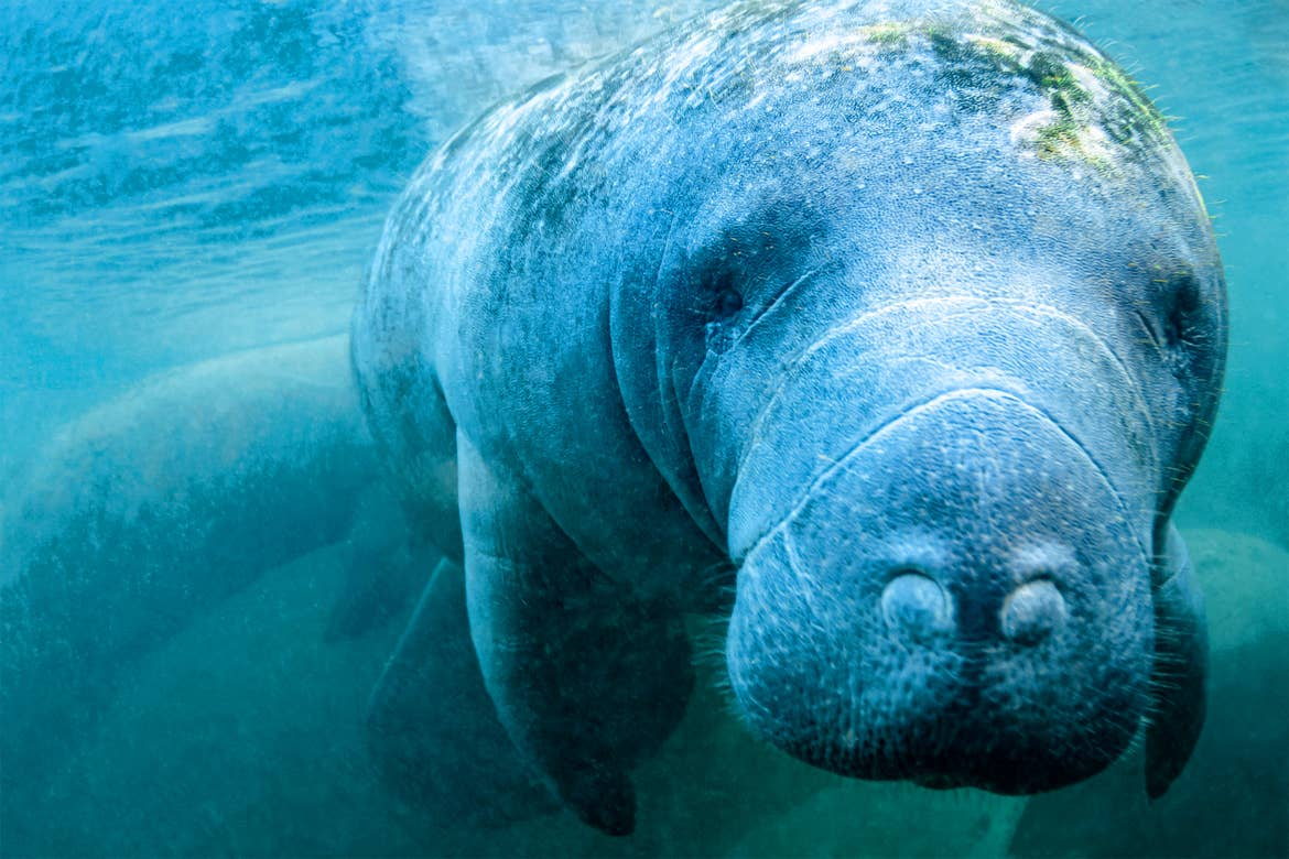 A manatee in the ocean looks into the camera.