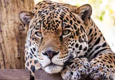 Cheetah at the Phoenix Zoo near Scottsdale Resort.
