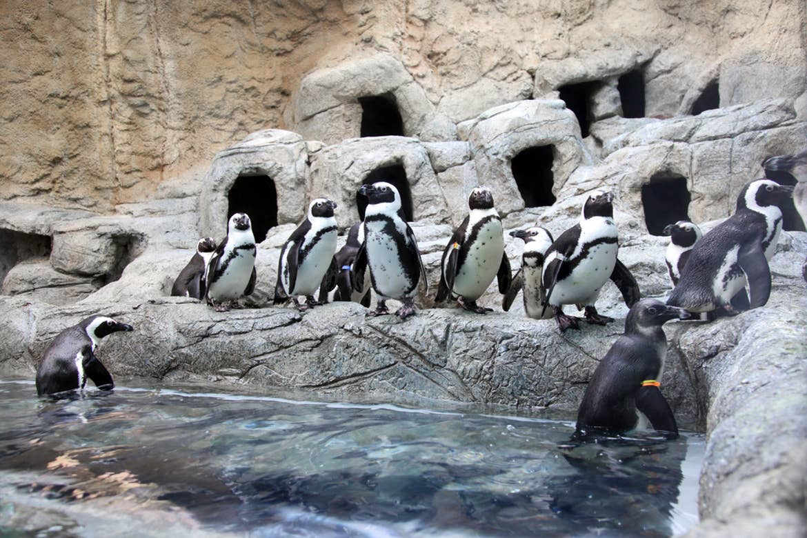 Several penguins stand on a rock formation in an enclosure.