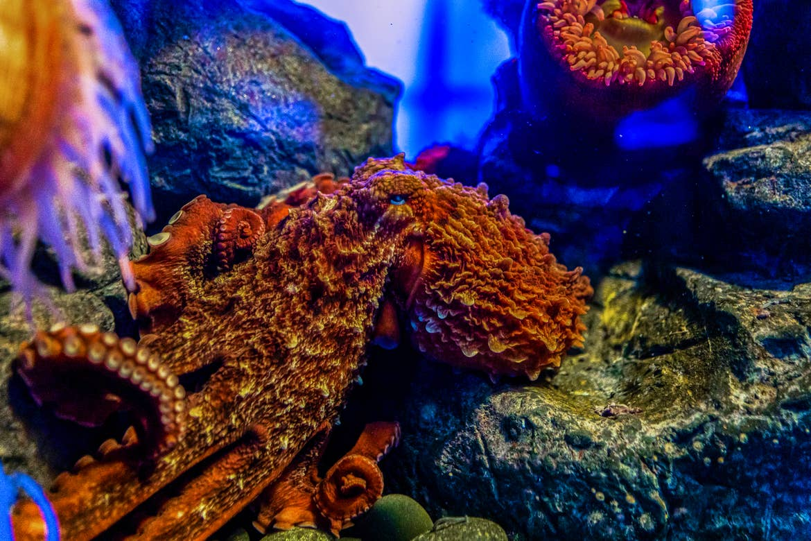 A giant pacific octopus sits amongst rocks in its enclosure.