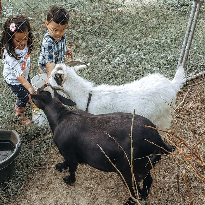 Angelica's kids feeding goats through a fence at a farm.