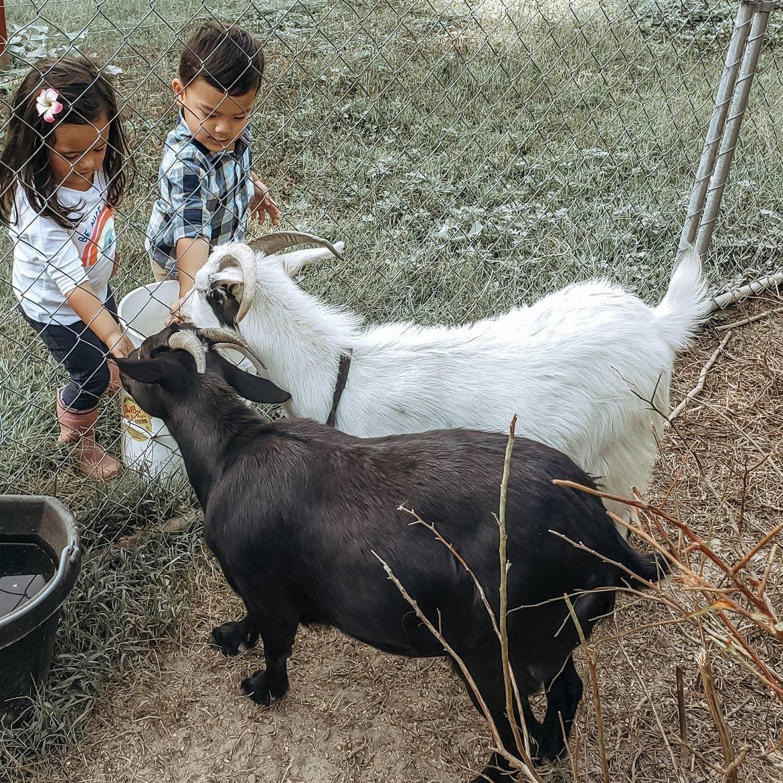 Angelica's kids feeding goats through a fence at a farm.