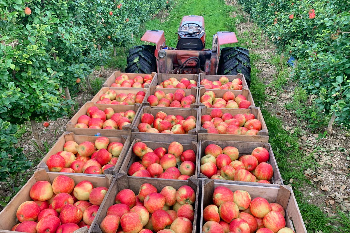 A tractor with trailer carrying bunches of apples in wooden crates.