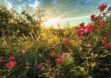 Wild roses in a field covered in sunlight