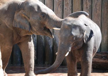 Two elephants playing at Houston Zoo near Piney Shores Resort.