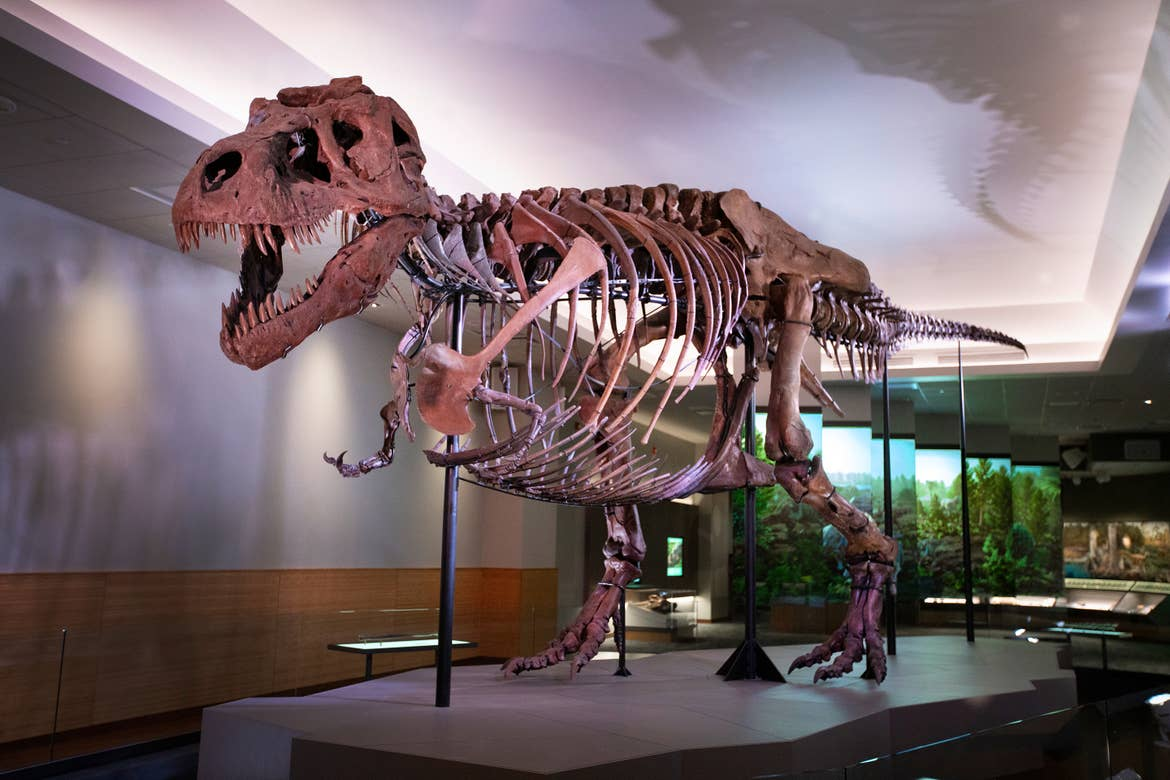 Sue the largest and most complete Tyrannosaurus rex skeleton ever discovered stands in an exhibit hall.