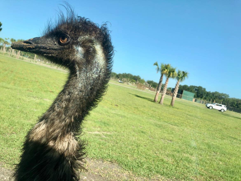 Close up of an emu at Wild Florida safari park