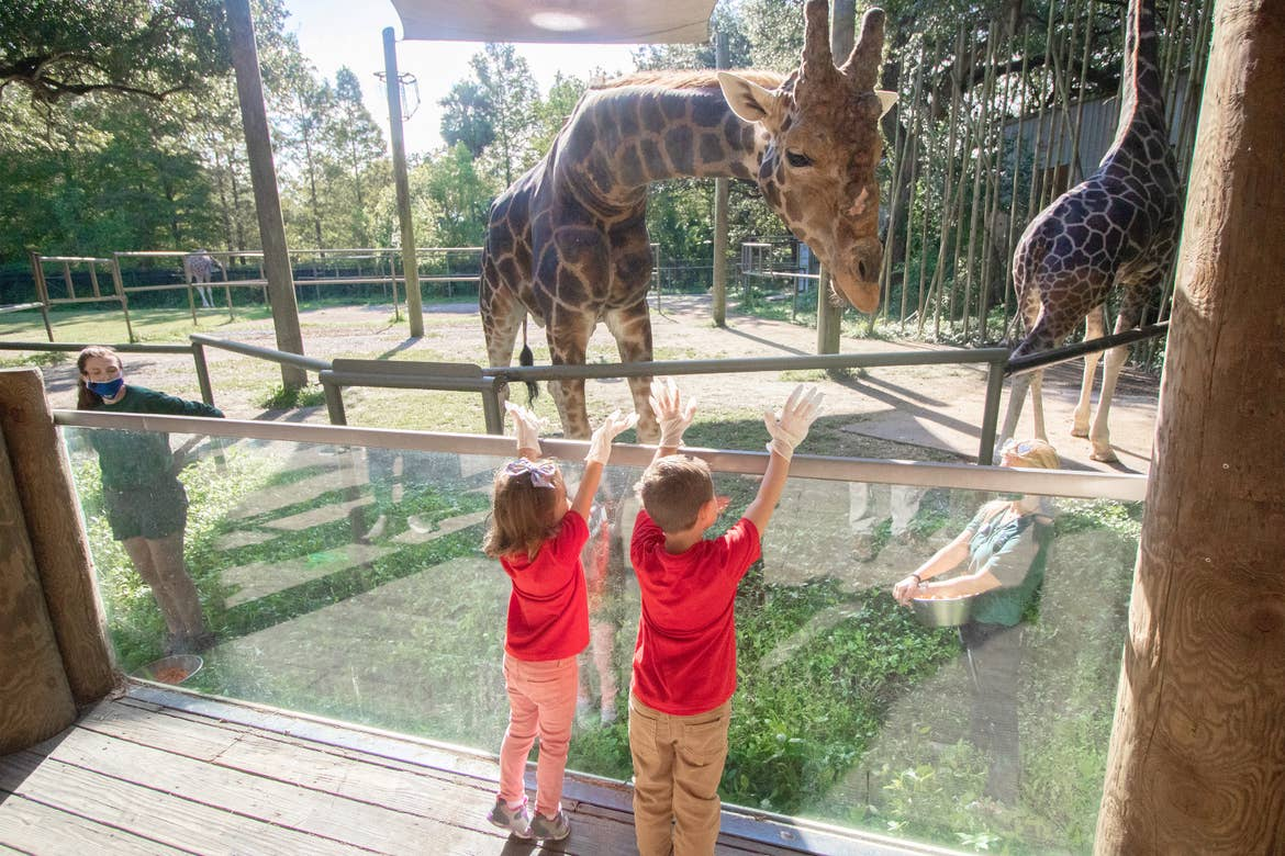 Two young children wearing red t-shirts feed a giraffe in an educational enclosure at the Audubon Zoo