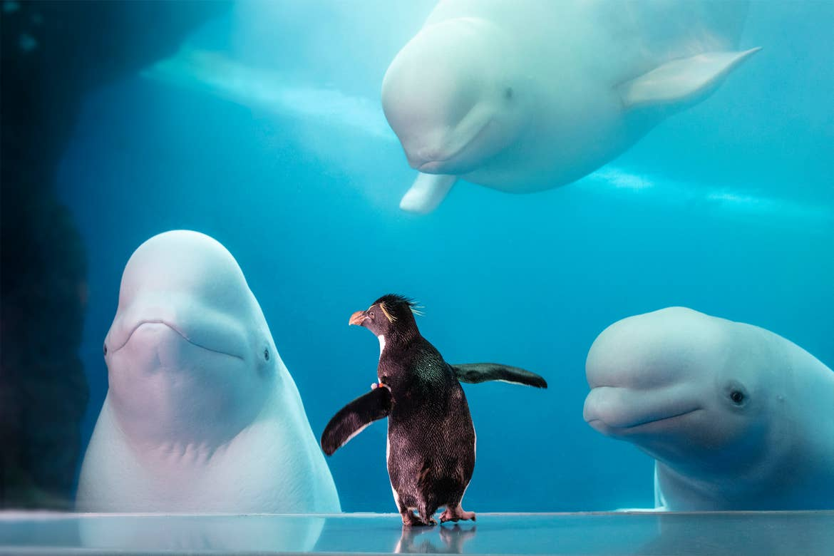 A rockhopper penguin stands on the opposite side of glass of three beluga whales.