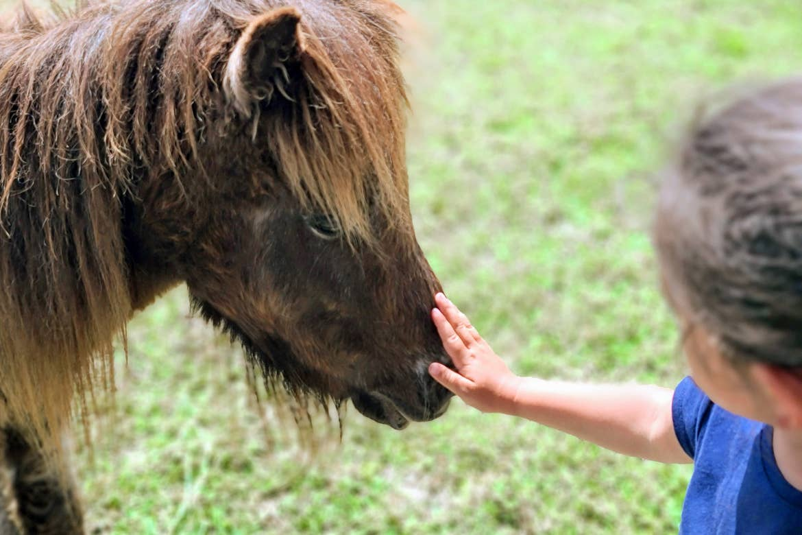 Featured Contributor, Angelica Kajiwara's daughter pets a mini-horse at Obloy Family Ranch.