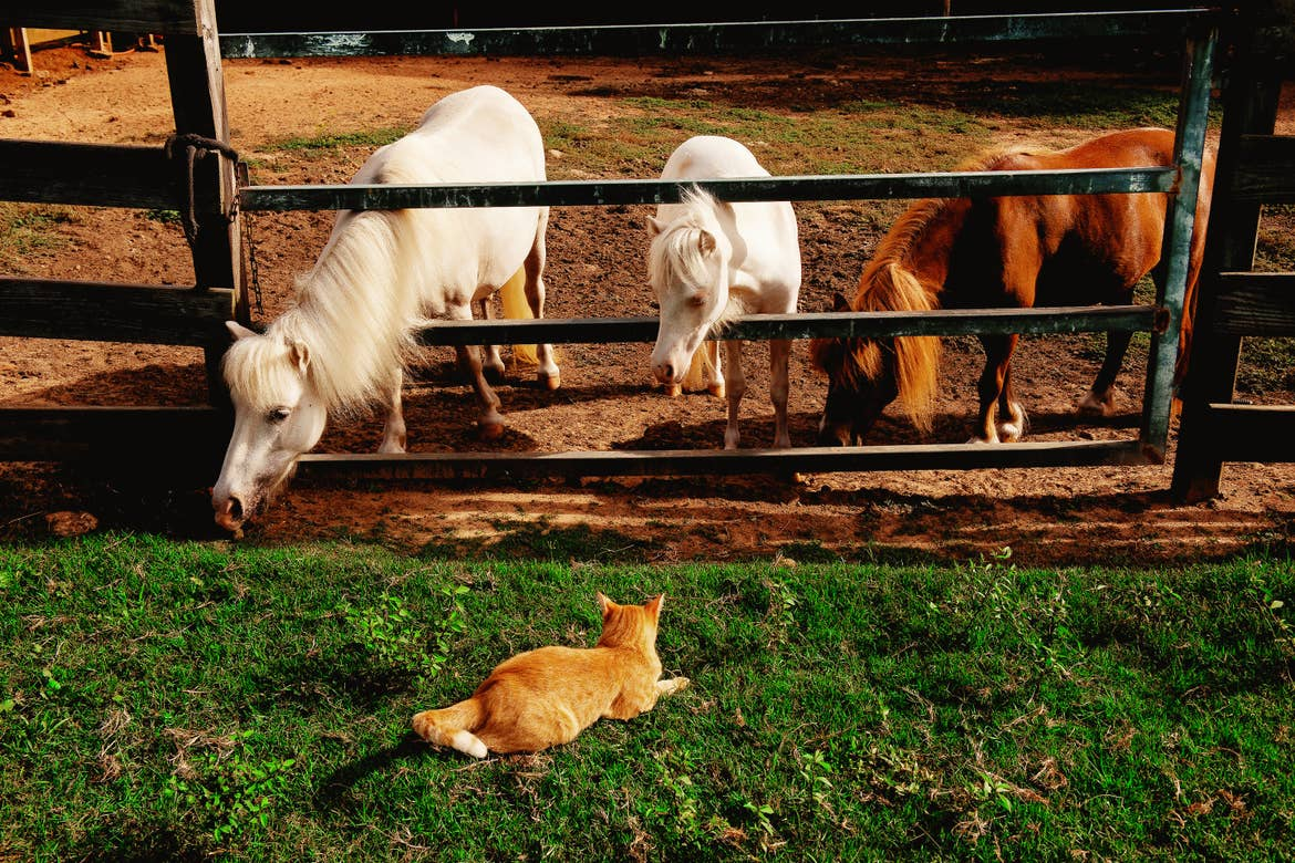 Three ponies stand as a cat watches them from the stable.