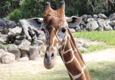 Giraffe close up at Brevard Zoo in Melbourne, FL