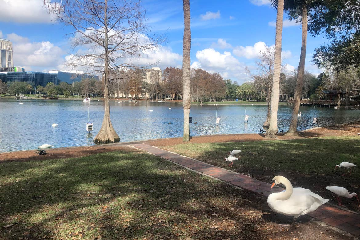 Several white swans stand on grass near Lake Eola, surrounded by trees and the downtown skyline.