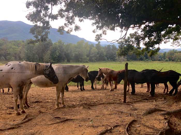 Horses at the Smokies