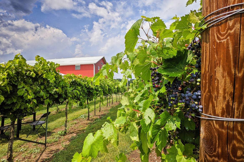 A red barn sits near a wine vineyard.