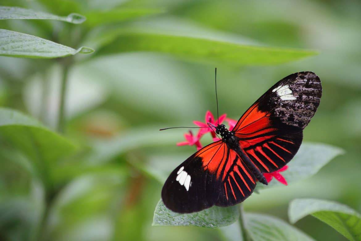A butterfly with red wings, black edges and white spots sits on a green plant leaf.
