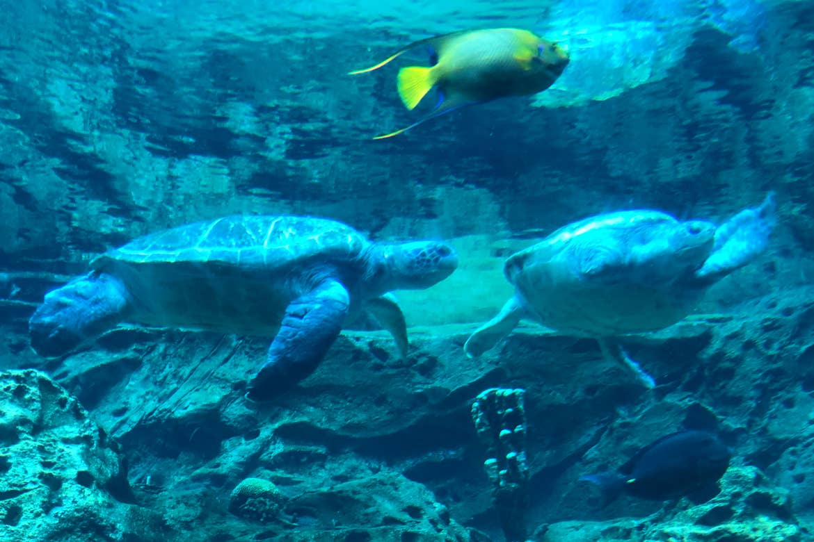 Two sea turtles and a tropical fish swim within an aquarium.