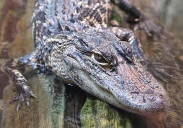 Alligator near Orange Lake Resort in Orlando, Florida