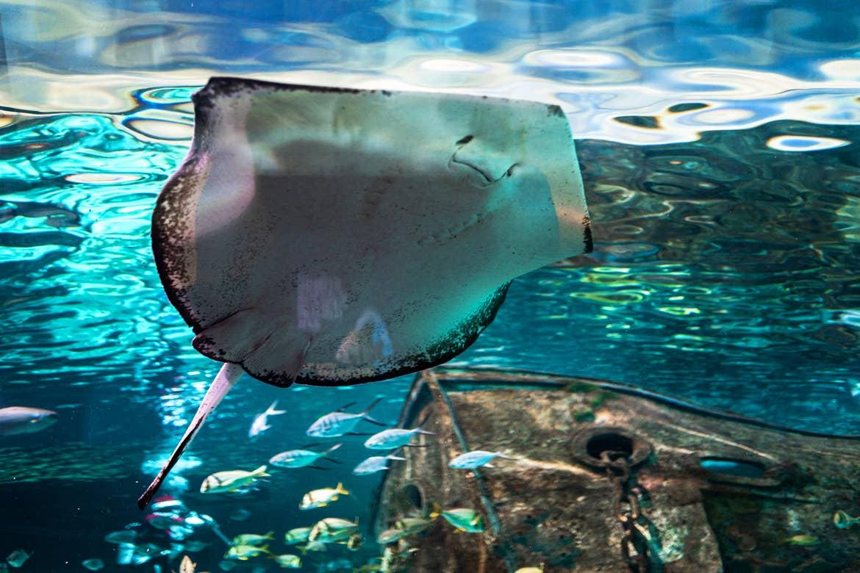 A stingray swims in an aquarium enclosure.