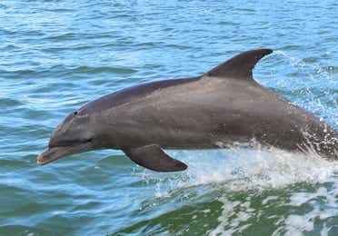 Dolphin jumping in the oceans